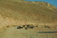 На дороге спокойно лежат козлы